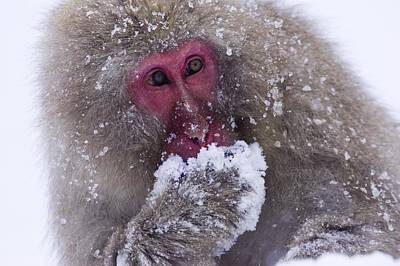 Tasting Photograph - Japanese Snow Monkey by Natural Selection Anita Weiner