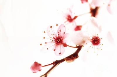 Japanischer Fruehblueher Art Print