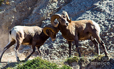 Fine Dining - Jasper - Bighorn Sheep by Terry Elniski