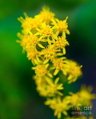 Jasper - Canada Goldenrod Wildflower Art Print by Terry Elniski