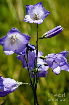Photograph - Jasper - Common Harebell Wildflower by Terry Elniski