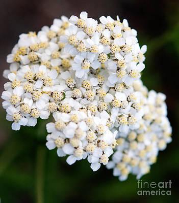 Photograph - Jasper - Common Yarrow Wildflower by Terry Elniski