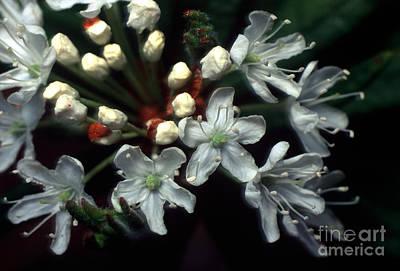 Photograph - Jasper - Labrador Tea Wildflower by Terry Elniski
