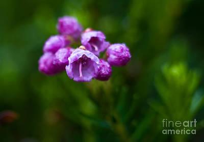 Red Flowers Photograph - Jasper - Pink Mountainheath by Terry Elniski