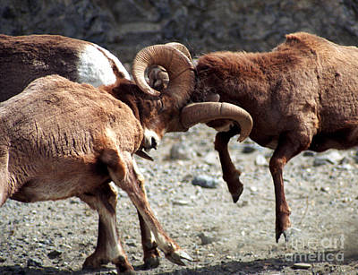 Photograph - Jasper - Rutting Bighorn Sheep by Terry Elniski