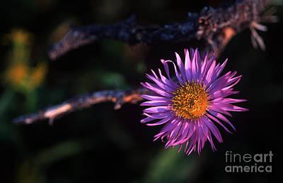 Photograph - Jasper - Subalpine Fleabane 2 by Terry Elniski