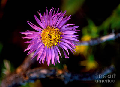 Photograph - Jasper - Subalpine Fleabane Wildflower 3 by Terry Elniski