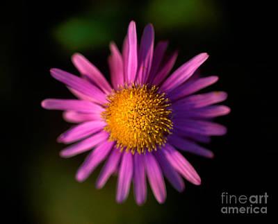 Photograph - Jasper - Subalpine Fleabane Wildflower 4 by Terry Elniski