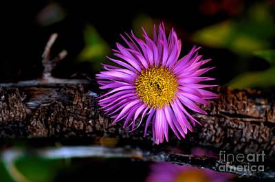Photograph - Jasper - Subalpine Fleabane Wildflower 5 by Terry Elniski