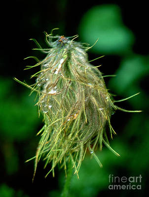 Photograph - Jasper - Western Anemone Wildflower by Terry Elniski