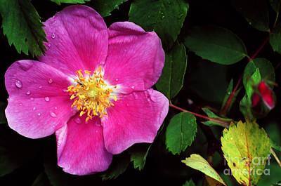 Photograph - Jasper - Wild Rose 1 by Terry Elniski