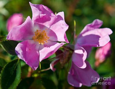 Photograph - Jasper - Wild Rose 2 by Terry Elniski