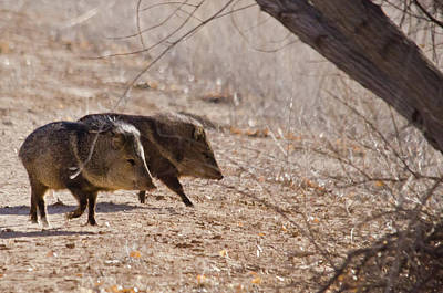 Photograph - Javelinas In A Hurry by Harry Strharsky
