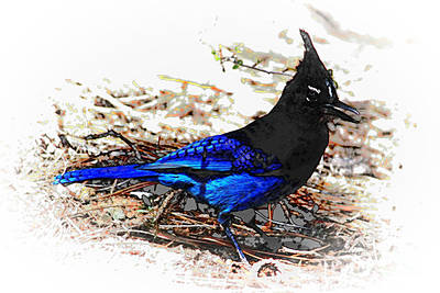 Jay On Pine Needles Art Print by Val Armstrong