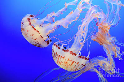 Photograph - Jellyfish 3 by Bob Christopher