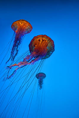 Photograph - Jellyfish Bold by Gregory Scott