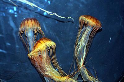 Photograph - Jellyfish Free Flight by Allan Rothman