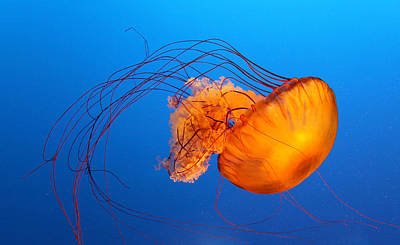 Jellyfish Photograph - Jellyfish by Viviana Singh