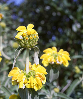 Photograph - Jerusalem Sage In Crete by Paul Cowan