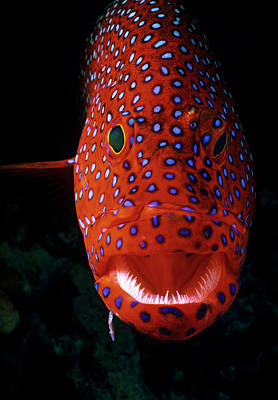 Photograph - Jewel Grouper, Cephalopholis Miniata by Jeff Rotman
