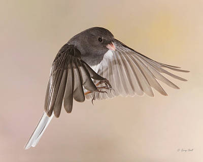 Photograph - Jimmy Junco2 by Gerry Sibell
