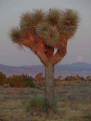Joshua Tree And Moon Setting Art Print