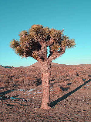 Rural Landscape Photograph - Joshua Tree by Naxart Studio