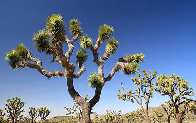 Photograph - Joshua Trees by Pierre Leclerc Photography