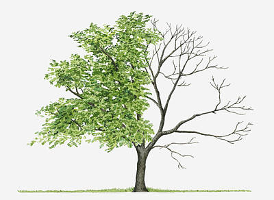 Juglans Cinerea (butternut): Illustration Showing Shape Of Deciduous Juglans Cinerea (butternut) Tree With Green Summer Foliage And Bare Winter Branches Art Print by Liz Pepperell