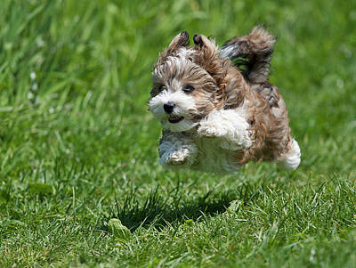 Panting Photograph - Jumping Puppy by @Hans Surfer