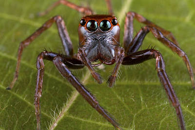 Jumping Spider Papua New Guinea Art Print