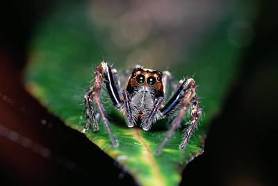 Photograph - Jumping Spider Plexippus Paykulli by Gerry Ellis