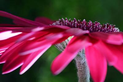 Gerber Daisy Photograph - Just A Feeling by Melanie Moraga