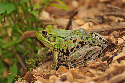 Bull Frog Photograph - Just A Frog by Paul Ward