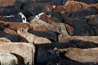 Photograph - Just Cattle by Jim  Arnold