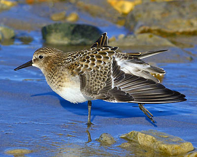Photograph - Juvenile Baird's Sandpiper by Tony Beck