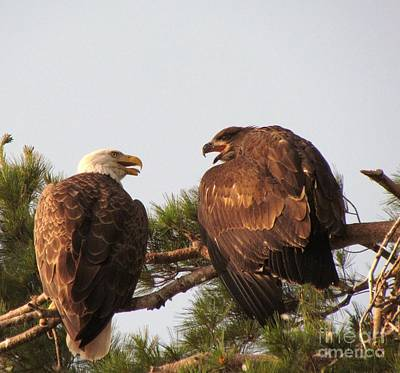 American Eagle Photograph - Juvenile Bald Eagle's First Flight   by Mitch Spillane