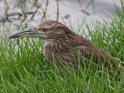 Photograph - Juvenile Black-crowned Night Heron by Dan McManus