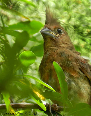 Photograph - Juvenile Cardinal by Grace Dillon