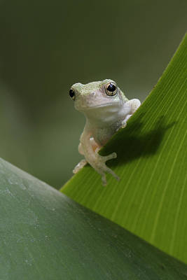 Art Print featuring the photograph Juvenile Grey Treefrog by Daniel Reed