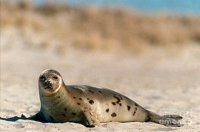 Valentines Day - Juvenile Harp Seal Basking In The Sun by Matt Suess