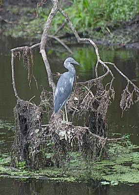 Juvenile Little Blue Heron Art Print