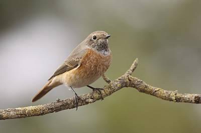 Redstart Photograph - Juvenile Male Redstart by Photostock-israel