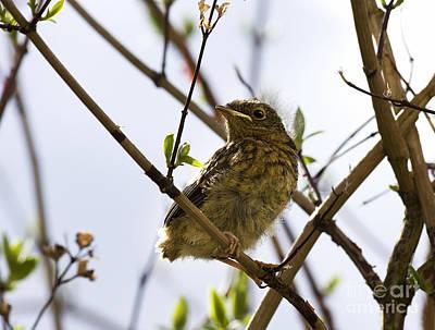 Beautiful Birds Photograph - Juvenile Robin by Jane Rix