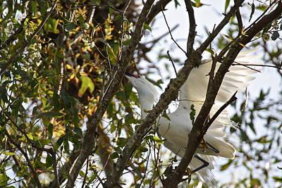 Photograph - Juvenile Snowy Egret by Diana Hatcher