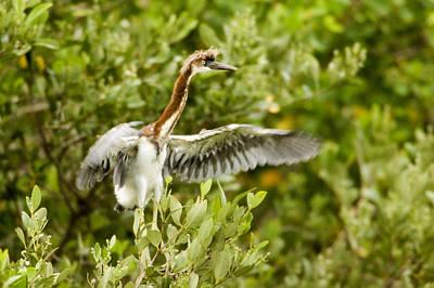 Portriat Photograph - Juvenile Tricolored Heron Egretta by Tim Laman