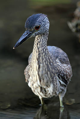 Photograph - Juvenile Yellow Crowned Night Heron by Juergen Roth