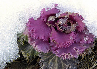 Kale Plant In Snow Art Print by Sandi OReilly
