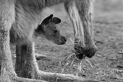Photograph - Kangaroo Joey by Camilla Brattemark