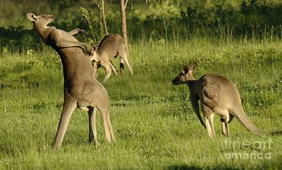 Australian Animal Photograph - Kangaroo Ready To Box by Bob Christopher